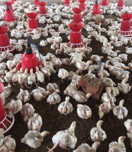VHC Farm 1